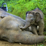 Deaths of pygmy elephants sparks concern in Malaysia
